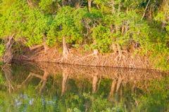 Drzewo wykładający staw z odsłoniętymi korzeniami Obraz Stock