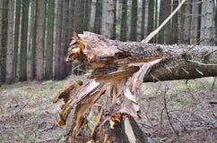 Drzewo wykorzeniał wielkiego drzewa, Południowa cyganeria Obraz Stock