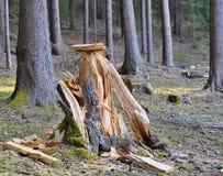 Drzewo wykorzeniał wielkiego drzewa, Południowa cyganeria Fotografia Royalty Free