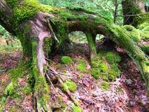drzewo wykorzeniający Obrazy Stock