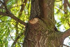 Drzewo z cięciem gałąź obrazy royalty free