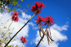 Drzewo z czerwienią kwitnie (erythrina) Fotografia Stock