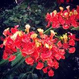 drzewo z czerwienią kwitnie w Asia Zdjęcie Stock