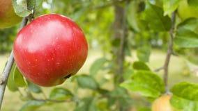Drzewo z czerwonym jabłkiem zdjęcie wideo