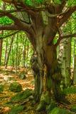 Drzewo z dużo rozgałęzia się Zdjęcie Royalty Free