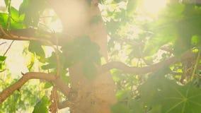 Drzewo z dużymi zielonymi liśćmi zbiory