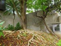 Drzewo z dużym korzeniem Obraz Royalty Free