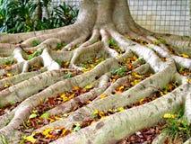 Drzewo z dużym korzeniem Obrazy Royalty Free