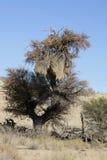 Drzewo z gniazdeczkami tkacz, Gemsbok park narodowy, Południowa Afryka Fotografia Royalty Free