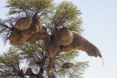 Drzewo z gniazdeczkami tkacz, Gemsbok park narodowy, Południowa Afryka Obraz Stock