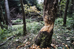 Drzewo z gryźć zwierzętami szczeka przy krawędzią bagno Obrazy Royalty Free