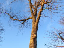 Drzewo z Kierowym kształtem w swój niebieskim niebie i bagażniku Zdjęcia Stock