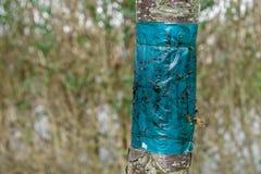 Drzewo z kleistym zaraza oklepem obraz royalty free