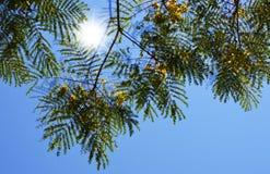 Drzewo z kolorów żółtych kwiatami i połysku słońcem Zdjęcia Stock