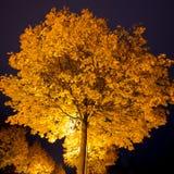 Drzewo z kolorów żółtych liśćmi przy nocą Zdjęcia Royalty Free