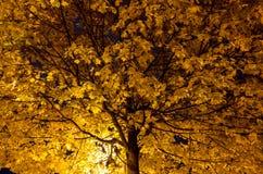 Drzewo z kolorów żółtych liśćmi przy nocą Obraz Royalty Free
