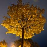 Drzewo z kolorów żółtych liśćmi przy nocą Zdjęcie Royalty Free