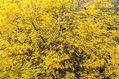 Drzewo z kolorów żółtych liśćmi, szczegół, jesień czasu tekstura Obrazy Royalty Free
