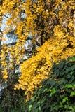 Drzewo z kolorów żółtych liśćmi w jesieni Obrazy Royalty Free