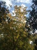 Drzewo z kolorów żółtych liśćmi w spadku Fotografia Royalty Free