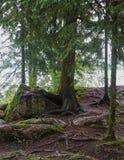 Drzewo z korzeniami na kamieniu Zdjęcie Royalty Free