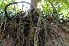 Drzewo z kręconymi korzeniami Zdjęcie Royalty Free