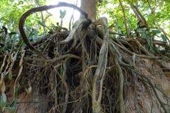 Drzewo z kręconymi korzeniami Zdjęcia Royalty Free