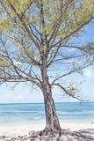 Drzewo z kwitnącymi kolorów żółtych liśćmi odizolowywającymi blisko morza Obrazy Stock