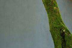 Drzewo z mech Zdjęcia Stock