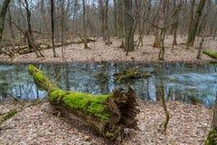 Drzewo z mech w zima lesie fotografia stock