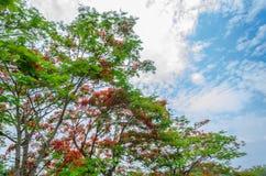Drzewo z niebem przy Chiang raja w Thailand Zdjęcie Stock