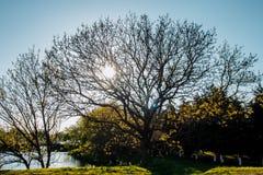 Drzewo z niezwykłymi gałąź przeciw tłu słońce Zdjęcie Stock