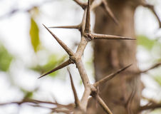 Drzewo z ostrymi cierniami Obrazy Stock