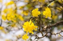 Drzewo złoto Obrazy Stock