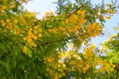 Drzewo z puszystymi kwitnącymi mimoza kwiatami Zdjęcia Royalty Free