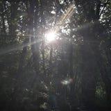 Drzewo z słońce lasu dniem Zdjęcia Royalty Free