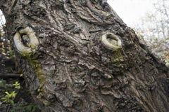Drzewo z sekrecjami aprosza obrazy royalty free