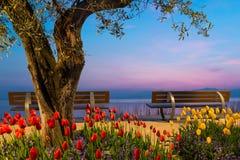 Drzewo z tulipanem kwitnie i dwa siedzenie ławki Zdjęcie Royalty Free