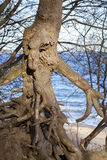 Drzewo z wolno stojący korzeniami Fotografia Royalty Free