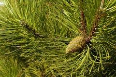 Drzewo z wyjątkowo tęsk, dekoracyjne igły i impressiv zdjęcia stock