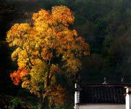 Drzewo z złotem i czerwienią opuszcza starego dom zdjęcie stock