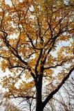 Drzewo z złotymi liśćmi Obraz Stock