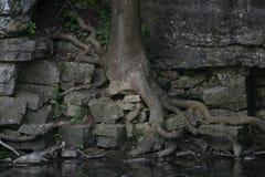 Drzewo zakorzeniał w skały wzdłuż rzeki Zdjęcie Royalty Free
