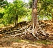 Drzewo zakorzenia dorośnięcie na ruinach w Kambodża Zdjęcia Stock