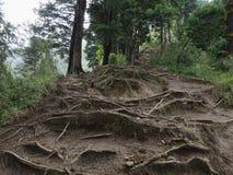Drzewo Zakorzenia las tropikalnego Żlobiącego obrazy stock