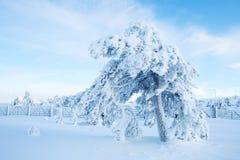 Drzewo zakrywający z ciężkim śniegiem z niebieskim niebem W Lapland Finlandia, Zdjęcie Royalty Free