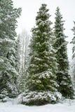 Drzewo zakrywający z ciężkim śniegiem z niebieskim niebem W Lapland Finlandia, Obrazy Royalty Free