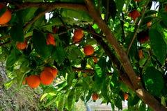 Drzewo zakrywający z dojrzałymi pomarańcz i białych kwiatami obraz stock