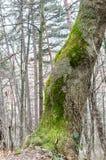 Drzewo zakrywający w mech obrazy stock