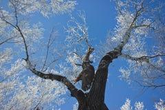 Drzewo zakrywający z mrozem Obraz Stock